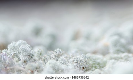 Macro shot. Gray forest moss. Selective focus. Lichen stabilized dried for landscape design moss close-up. Citraria medicinal healing Icelandic moss. Medicinal plant miracle cure. Grey moss texture.