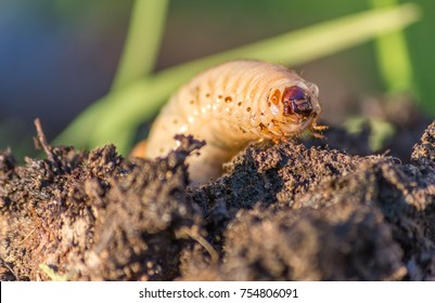 Macro shot of a grub worm coming out from the compost.