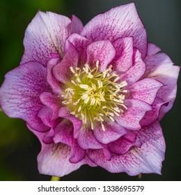 A macro shot of a helleborus double ellen pink bloom.
