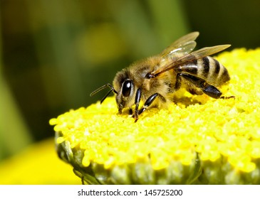 macro shot of a honey bee pollinating a flower