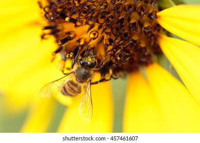 Macro shot of a honey bee sitting on a Sunflower in a garden in Bahrain - shot with a shallow depth of field,