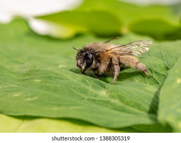 Macro shot of a honeybee sitting in the garden on a leaf in the sunshine.