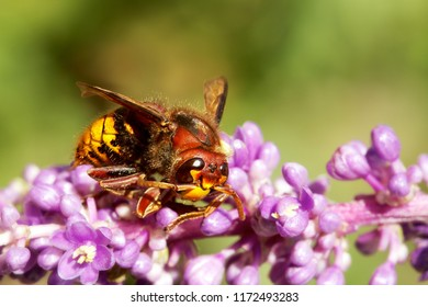 Macro shot of a hornet mimic hoverfly on a flower