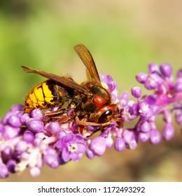 Macro shot of a Hornet mimic hoverfly (Volucella Zonaria) pollinating