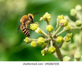 A macro shot of an ivy bee (Colletes hederae), seen nectaring on ivy flowers in early autumn.