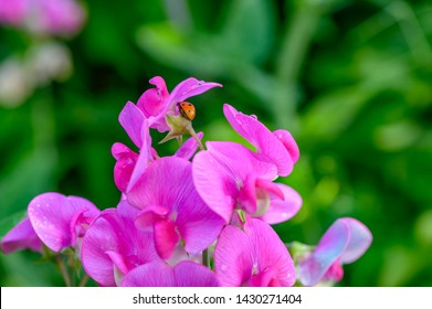 Macro shot of a ladybird (Coccinellidae) crawling on the pink flowers of a vetch.