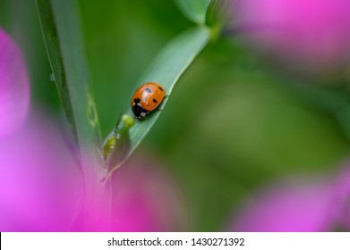 Macro shot of a ladybird (Coccinellidae). The pink flowers of a vetch are seen in bokeh.