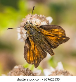 A macro shot of a large skipper butterfly collecting pollen from a feverfew bloom.