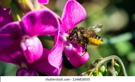 A macro shot of a leaf cutter bee collecting pollen from a sweet pea bloom.
