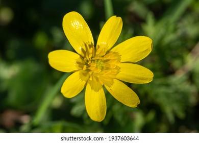Macro shot of a lesser celandine (ficaria verna) flower in bloom