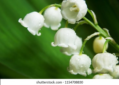 macro shot the lily of the valley