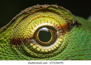 macro shot of a lizards eye