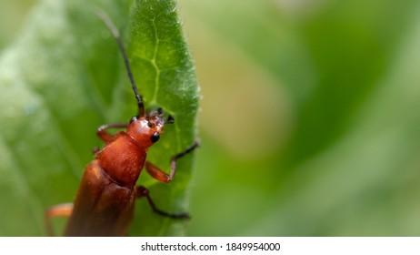 Macro shot of a long horned brown beetle sitting on a leaf.