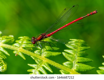 A macro shot of a male large red damselfly (Pyrrhosoma nymphula) pictured on a fern, seen in June