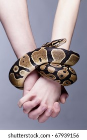 Macro shot of man and woman holding each others hands, which are connected with royal python snake; grey background, a lot of copyspace available