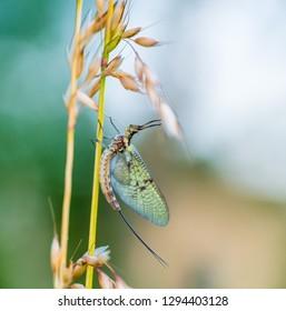 Macro shot of a mayfly