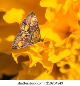 A macro shot of a mint moth resting upon a marigold bloom.