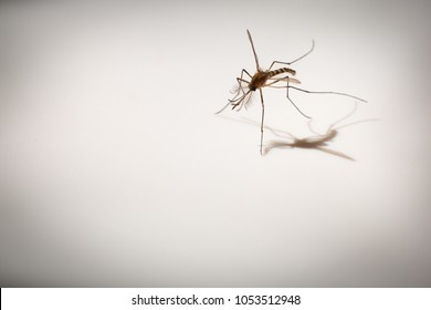 macro shot of mosquito, carrier of dengue fever, selective focus with dramatic shadow on white background