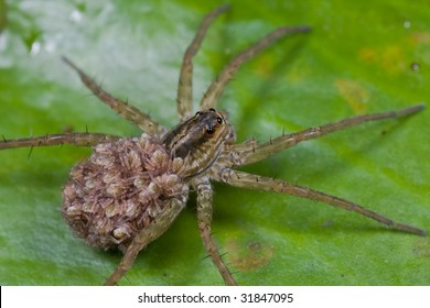 Macro shot of a mother wolf spider carrying its spiderlings on the back