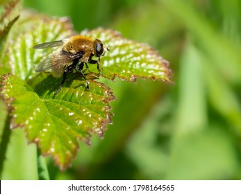A macro shot of a narcissus bulb fly (Merodon equestris) seen resting on a leaf in late Spring.