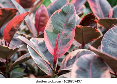 A macro shot of the new growth ficus red leaves