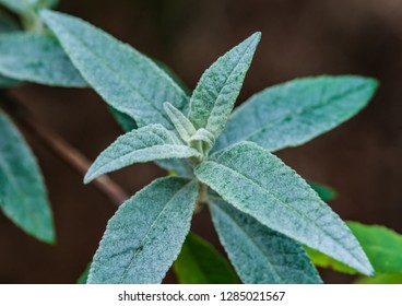 A macro shot of new leaves forming on a butterfly bush.