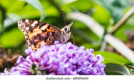 A macro shot of a painted lady butterfly collecting pollen from a butterfly bush.