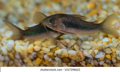 A macro shot of a pair of bronze corydoras catfish.