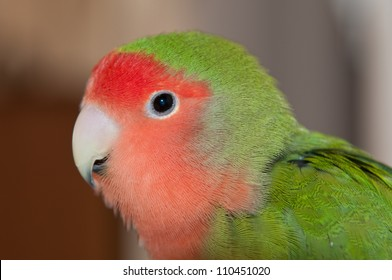 A macro shot of a peached-faced lovebird