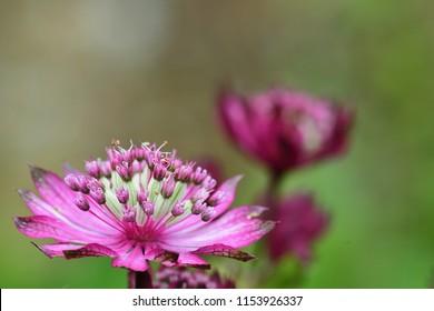 Macro shot of a pink astrantia flower in bloom