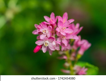 A macro shot of the pink blooms of a flowering currant bush.