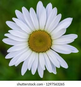 A macro shot of a pristine oxeye daisy bloom.
