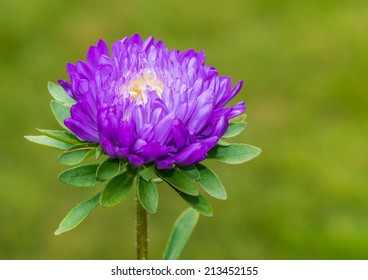 A macro shot of the purple bloom of an aster bloom.