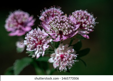 Macro shot of purple and white astrantia major (great masterwort)  flower heads with a dark background