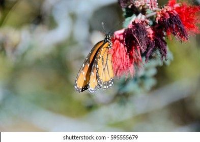 Macro shot of Queen butterfly sitting on a tree branch. Side view of colorful butterfly in its natural habitat. Vibrant orange butterfly with white spots sitting on red flowers.