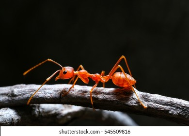Macro shot of red ant in nature. Red ant is very small. Selective focus, free space for text.
