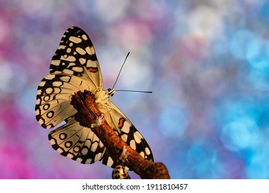 Macro shot of Red Cracker butterfly on twig