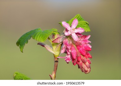 Macro shot of red currant (ribes sanguineum) flowers in bloom