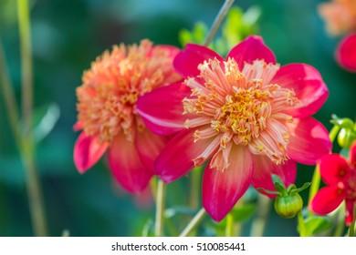 A macro shot of a red dahlia in full bloom in the garden. Beautiful flower closeup.