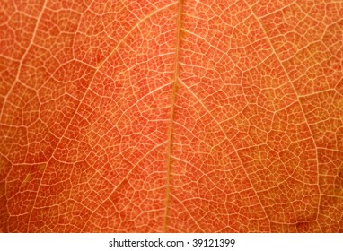 A macro shot of a red maple-leaf. Backlit. You can see the tiny structures on the leaf.