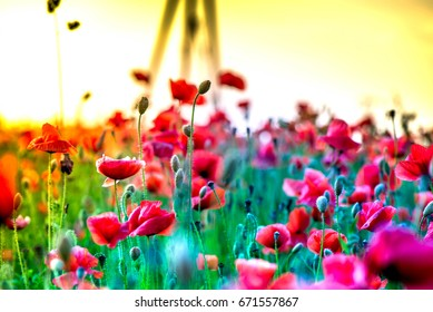 Macro shot of a red poppy blooms in a colorful, abstract and vibrant blossom field, a meadow full of blooming summer flowers, on romantic evening during sunset. Morning dew in grass. Magical moment.