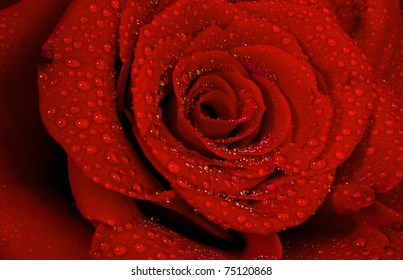 macro shot of a red rose with early morning dew
