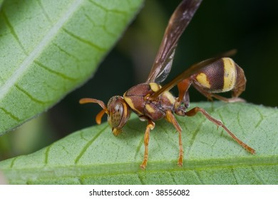 Macro shot of a reddish wasp