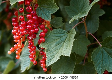Macro shot of ripening red currant berries. High quality photo