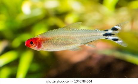 A macro shot of a rummy-nose tetra tropical fish.