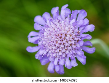 A macro shot of a scabious butterfly blue bloom.