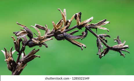 A macro shot of the seed pods of an evening primrose plant.