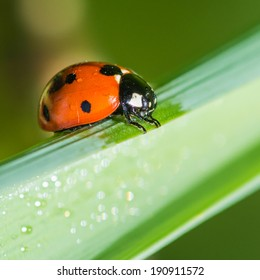 A macro shot of a seven spotted ladybird sitting on a green leaf.