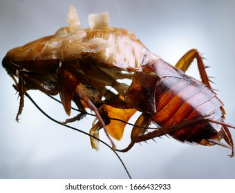 Macro shot of Skin changing stage of a cockroach