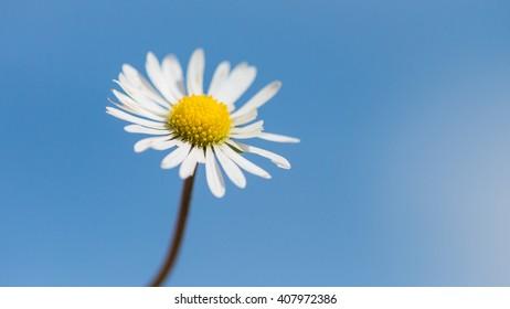 A macro shot of a small daisy against a blue sky.